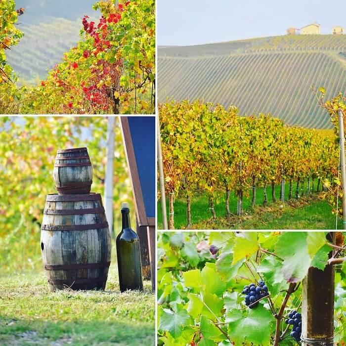mosto cotto モストコット イタリアの秋の葡萄畑
